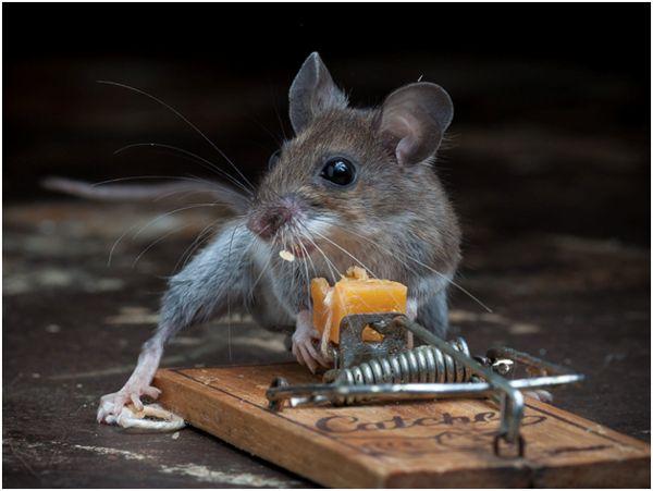 мышь с мышеловкой