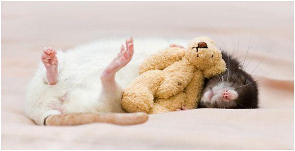 спящая крыска и игрушка